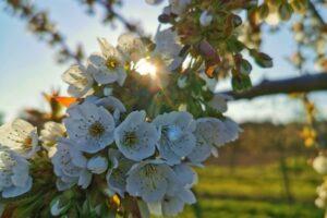 Kirschblüte in Frauenstein